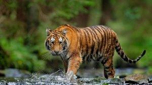 Tiger Attitude Whatsapp Status Video