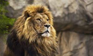 Lion Attitude Whatsapp Status Video